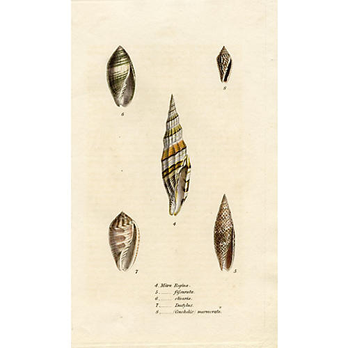 1800s Miter Seashell Engraving