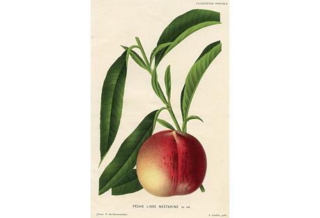 Belgium Fruit Print - Peach, 1882