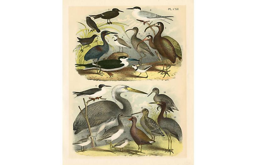 Little Blue & Florida Heron, 1898