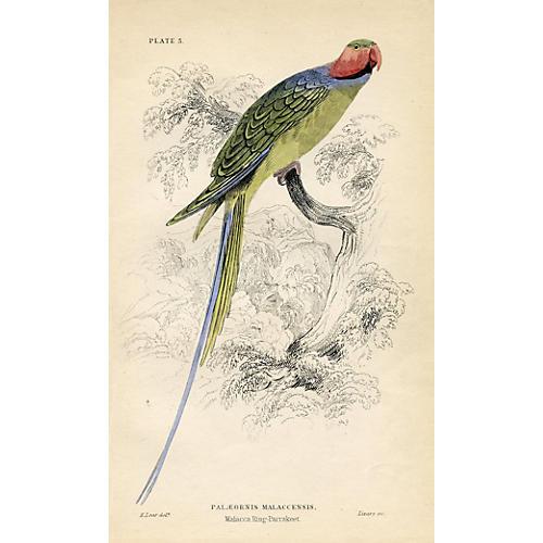 Malacca Ring Parakeet, 1836
