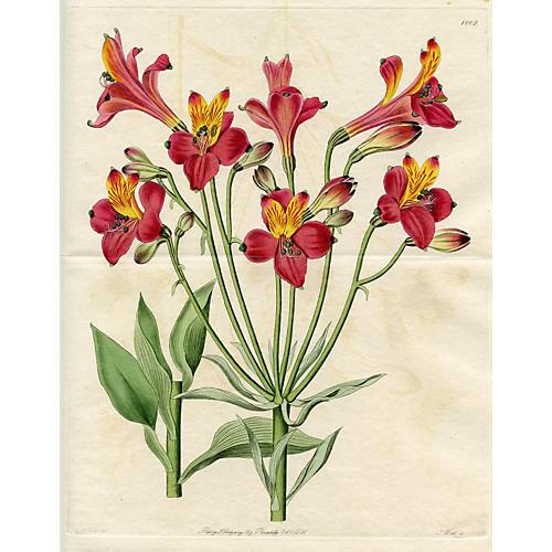 Alstroemeria Botanical Print, 1826
