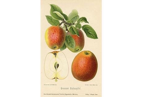 German Apple Print, 1894