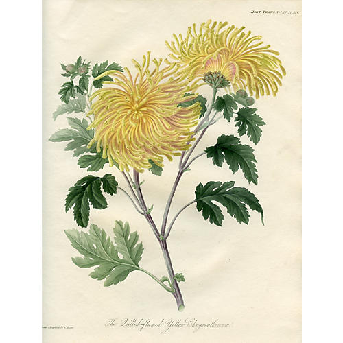 Yellow Chrysanthemum, 1822