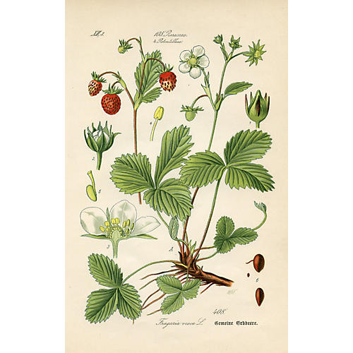 Strawberry Print, 1886