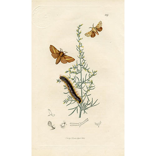 Ground Lackey Moth, 1828
