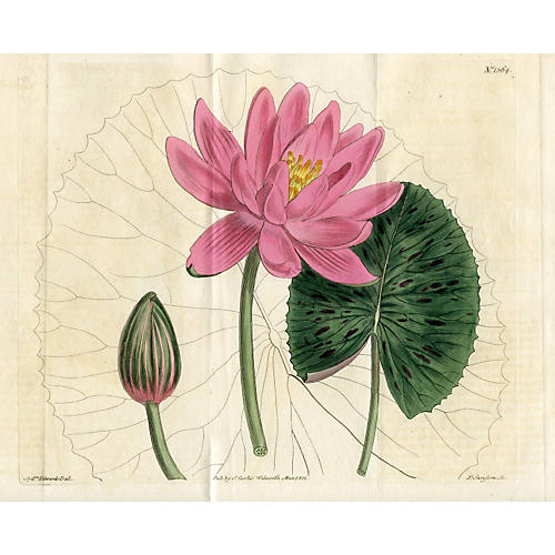 Rose-Colored Water Lily, 1811