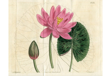 Rose-colored Water Lilly, 1811