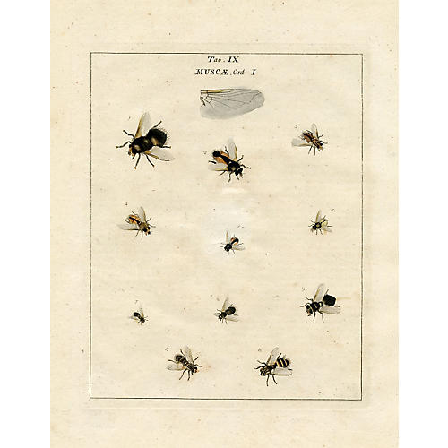 English Insect Print, 1782