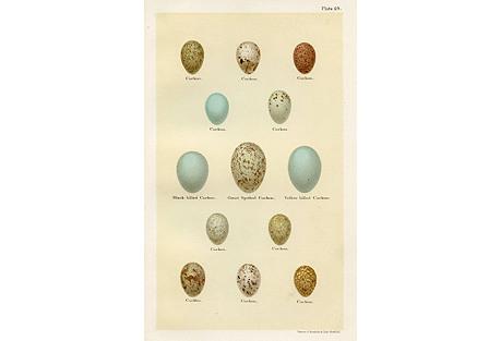 Cuckoo Egg Print, 1896