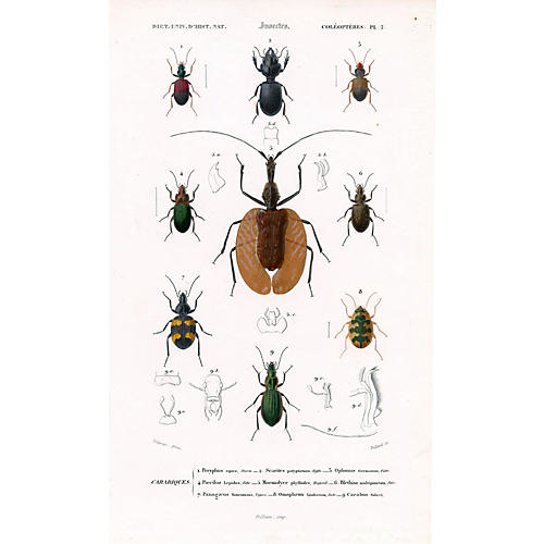 19th-C. French Beetle Print