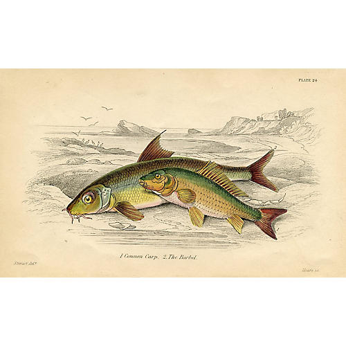 Carp & Barbel, 1843 Engraving