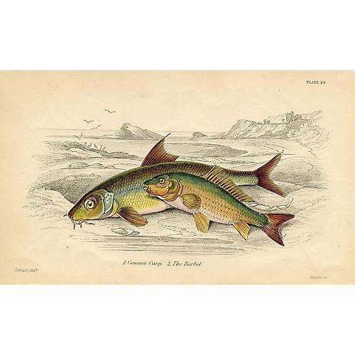Carp & Barbel Fish Print, 1843