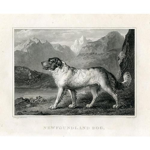 Newfoundland Dog, 1803
