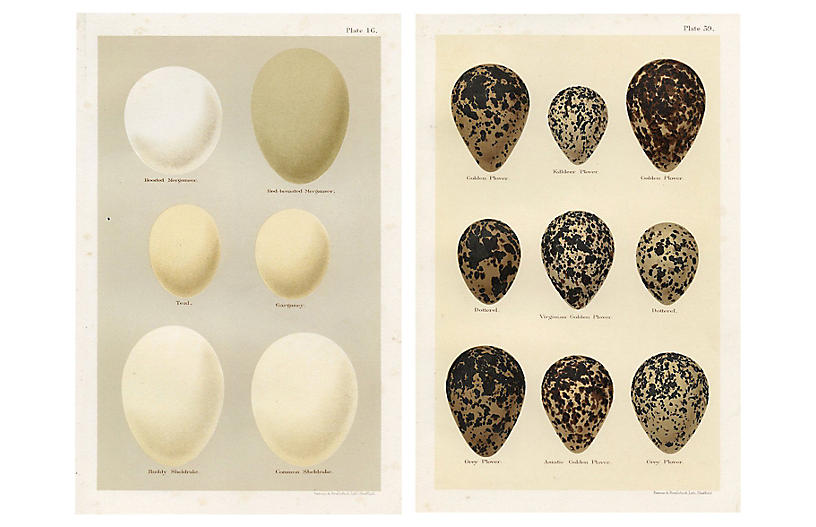 British Duck Eggs, Pair