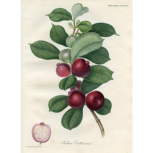 Strawberry Guava, 1822