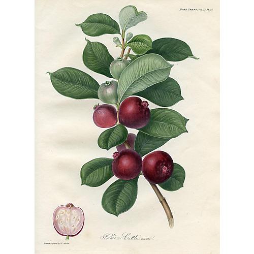 Strawberry Guava, 1822