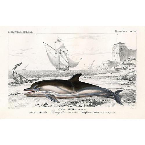 Short-Beaked Dolphin, 1849
