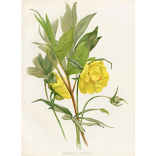 19th-C. British Tree Peony Print
