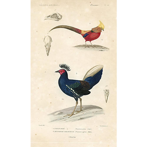 Pheasants, 1850s Engraving