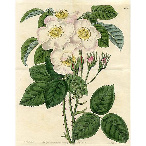 Musk Rose, 1825
