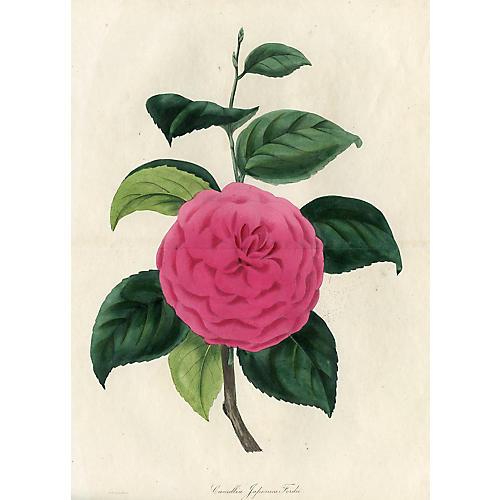 Camellia Print, 1836