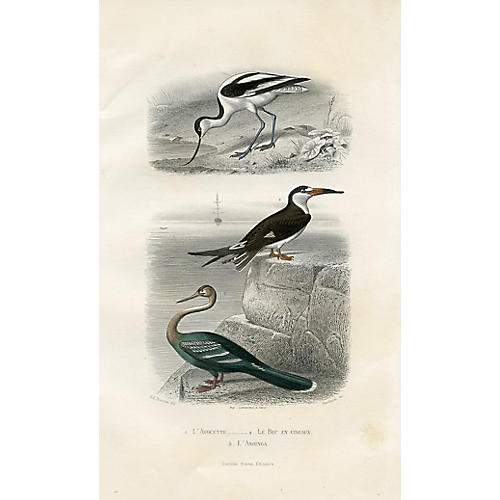 19th-C. French Shorebird Engraving