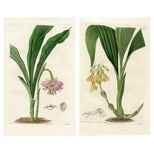 19th-C. British Orchid Engravings, Pair