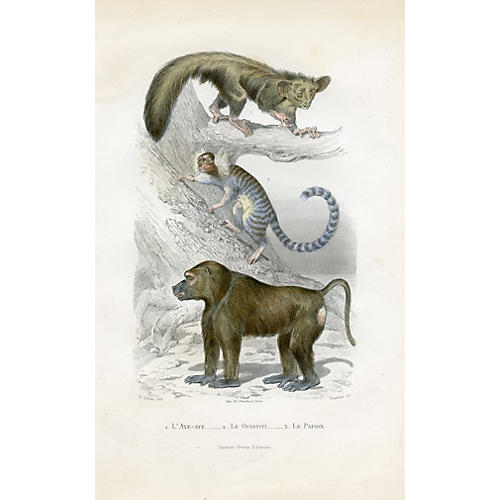 19th-C. Papion Monkey Print