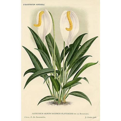 White Anthurium, 1896