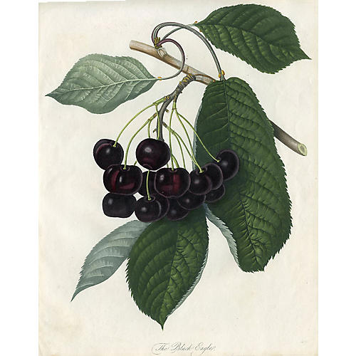 Black Eagle Cherry, 1817