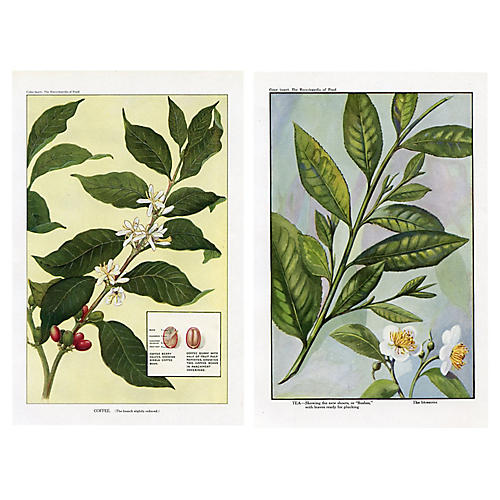 Coffee and Tea Plants, Pair