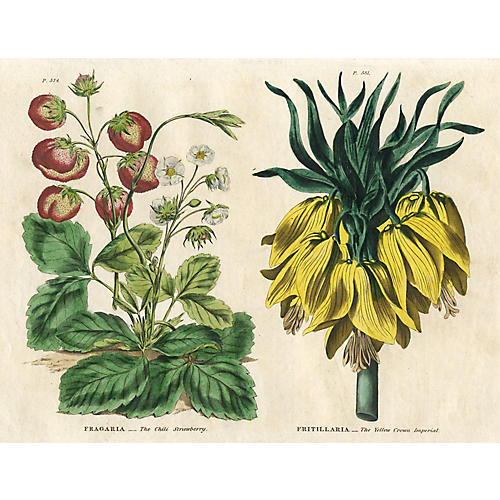 Strawberry & Fritillaria Print, 1820
