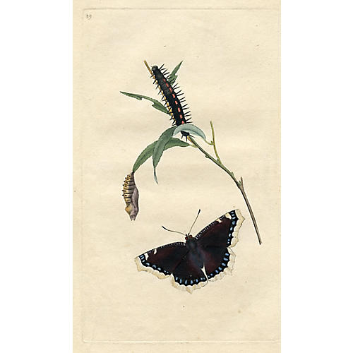 Camberwell Beauty Butterfly, 1793