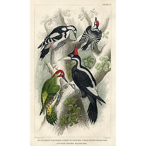 19th-C. Woodpecker Print