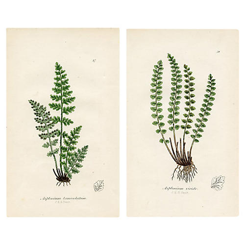 Ferns of Great Britain, Pair