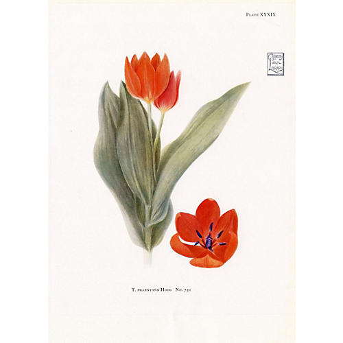 Rock Garden Tulip, 1930