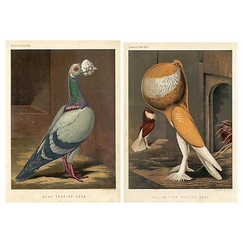 Victorian Pigeon Prints, Pair
