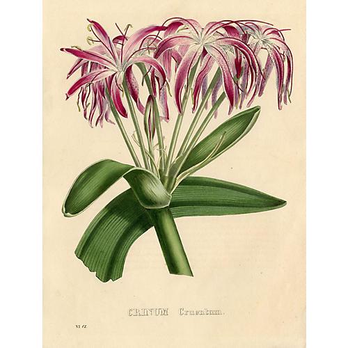 Crinum Lily, 1832