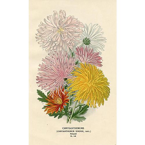 1896 Chrysanthemum Print
