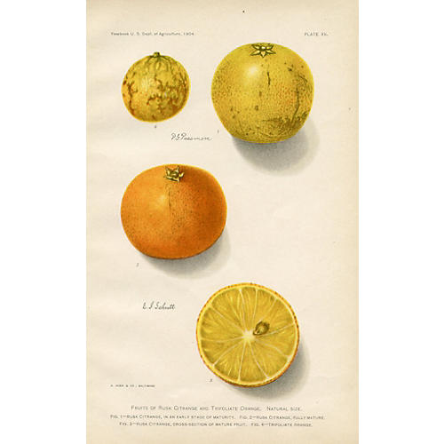 Early 1900s Citrus Print