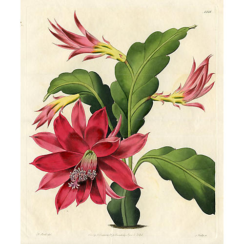 Ackermann's Mexican Cactus, 1830