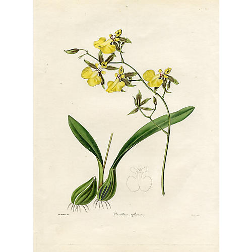 Central American Orchid, 1842
