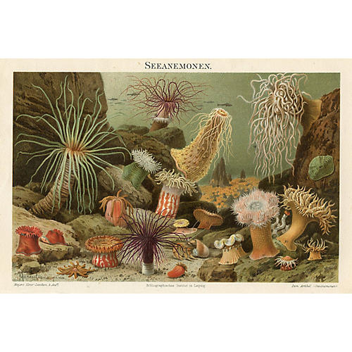 1890s German Anemone Print