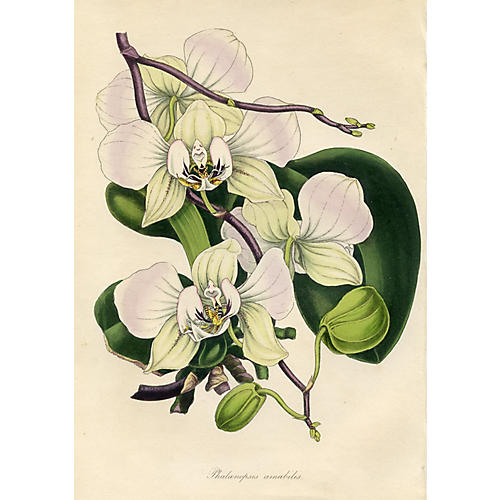 Indian Butterfly Orchid, 1838
