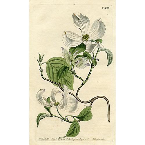 North American Dogwood, 1801