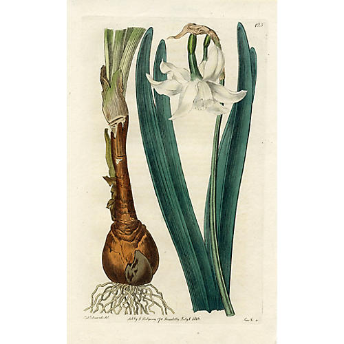 White Mountain Daffodil, 1816