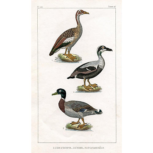 French Duck Engraving, 1831