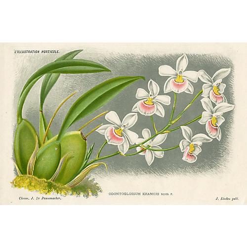 Belgian Orchid Print, 1885