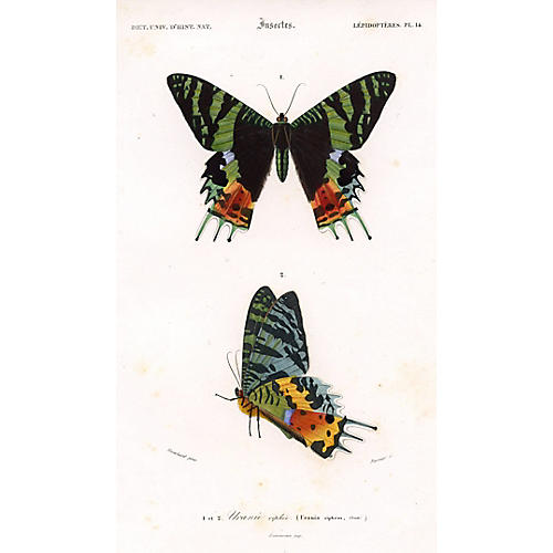 Madagascan Sunset Moth, 1849