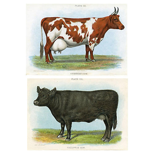 North American Cows, Pair